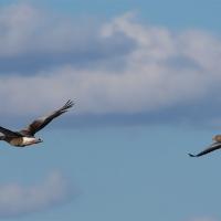 Flygande Grågäss