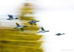 Flygande storskrakar