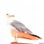 Gråfågel